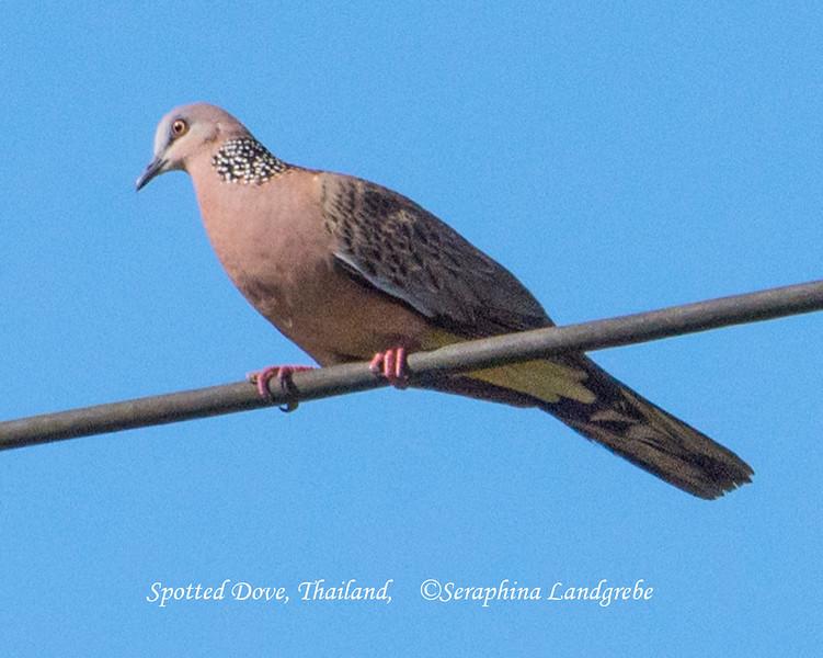 _DSC5549Spotted Dove Thailand.jpg