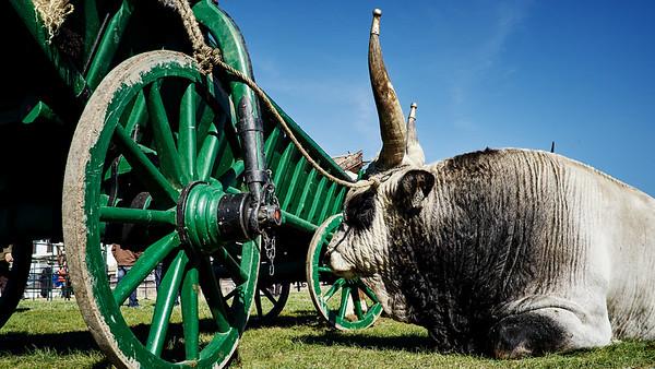 Cattle auction Hortobágy