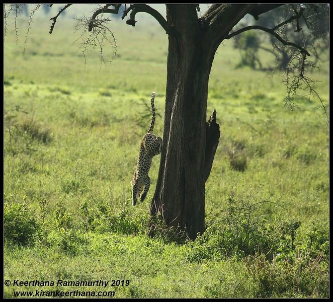 Leopard cub climbing down the tree, Serengeti National Park, Tanzania, November 2019