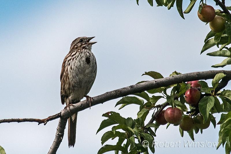Song Sparrow, Melospiza melodia, La Plata County, Colorado, USA, North America