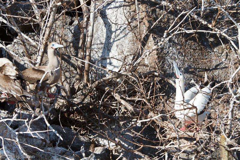Red-footed Booby brown morph adult with white morph adult at Darwin Bay, Genovesa, Galapagos, Ecuador (11-25-2011) - 246.jpg
