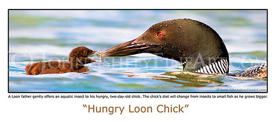 """Hungry Loon Chick"" post card"