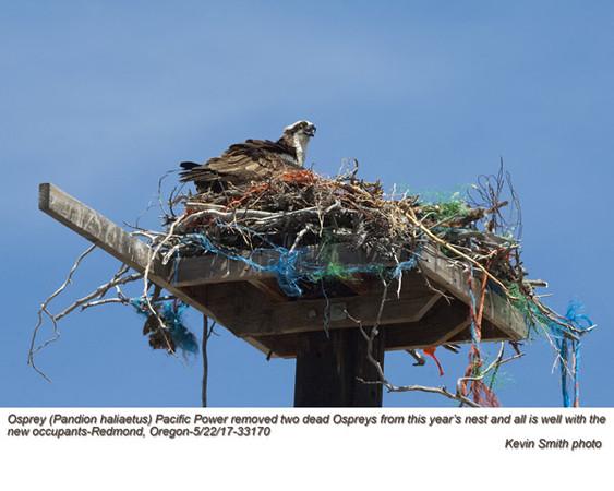 Osprey nest with 2 dead birds A33170.jpg