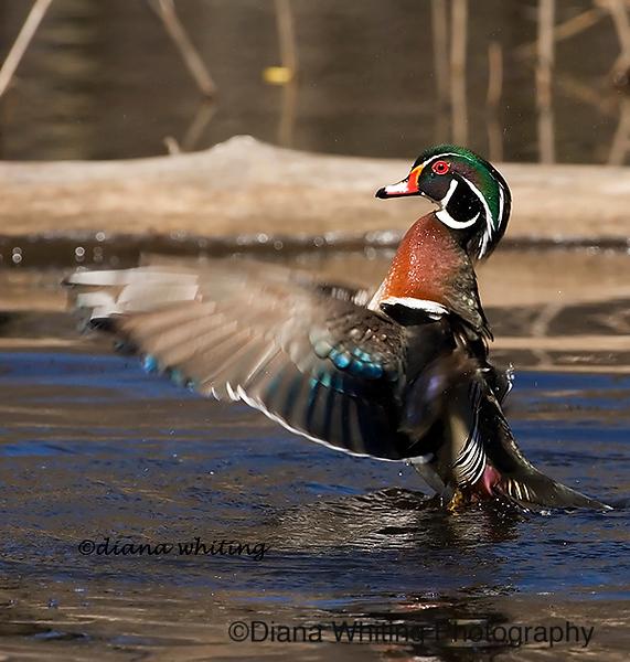 Wood Duck Flushing