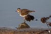A three-banded plover in the still of the morning