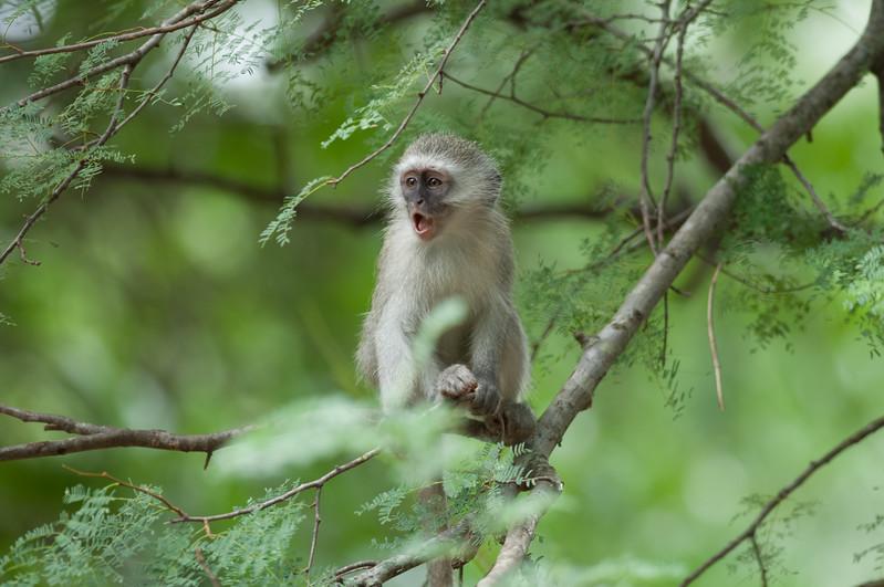 Vervet Monkey, Kruger National Park