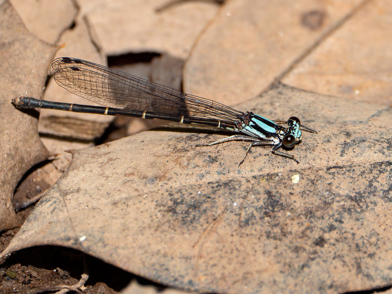Blue-tipped Dancer (Argia tibialis), Blue Form Female
