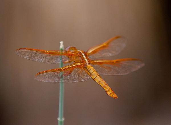 Odonata (Dragon and Damsel Flies)