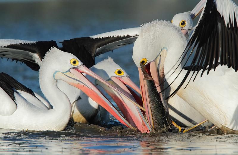 Pelican Feeding Franzy 2 MASTER.jpg
