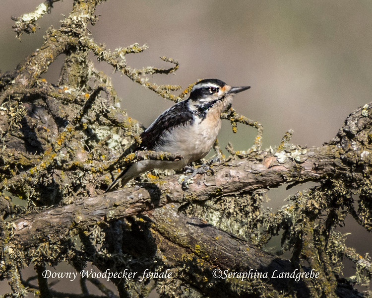 _DSC7153Downy Woodpecker female.jpg