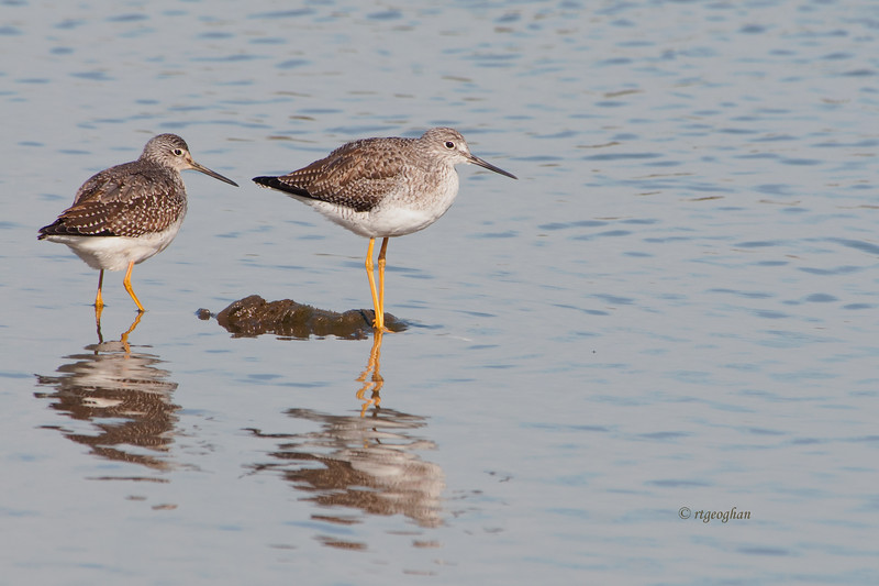 Nov 13_Greater Yellowlegs Mill Creek_8086.jpg