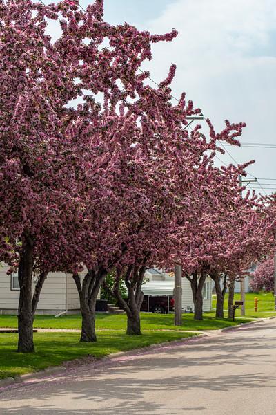 pink trees in aberdeen
