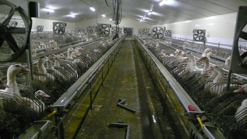 canards-foie-gras-2008-fr-B-029.jpg