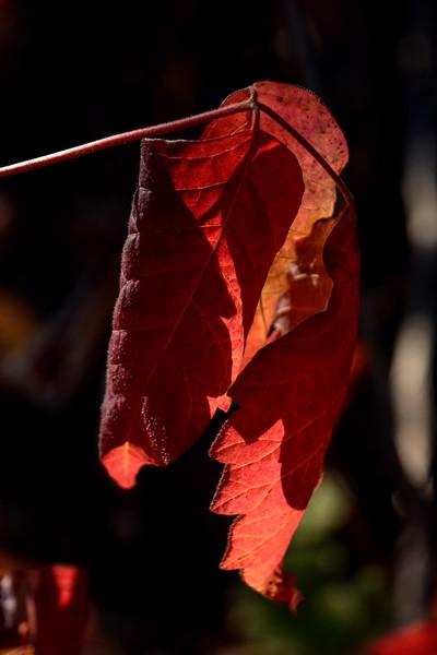 DSC_9975 AR poison oak leaf crpd 2x3 tNEF ps- .jpg