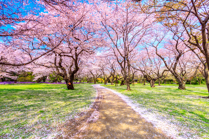Walkway under the Sakura Tree