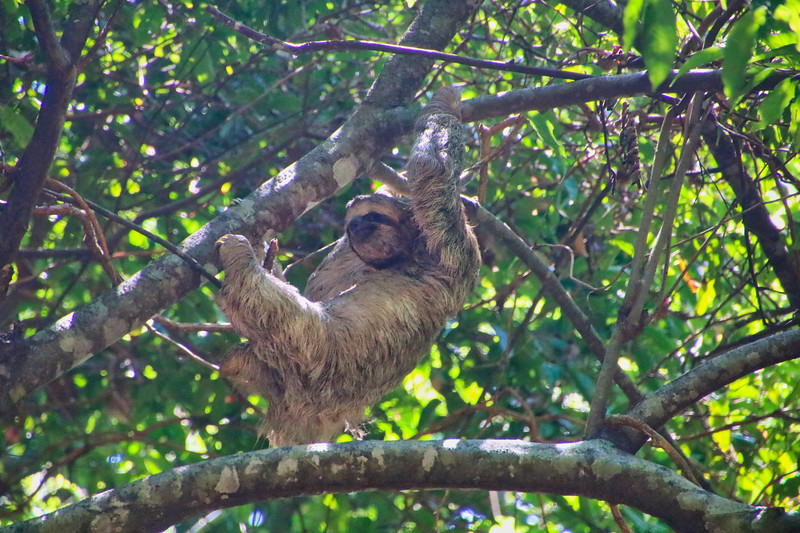 Wild sloth hanging in a tree in Costa Rica