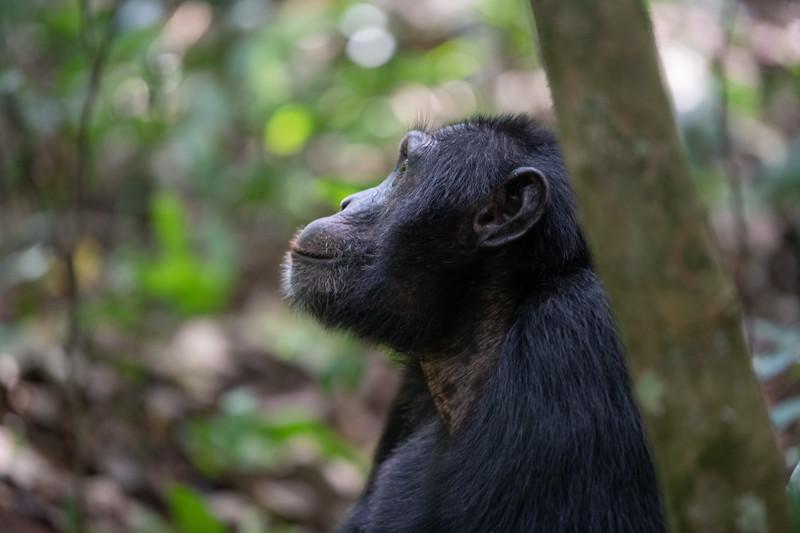 Uganda_T_Chimps-498.jpg