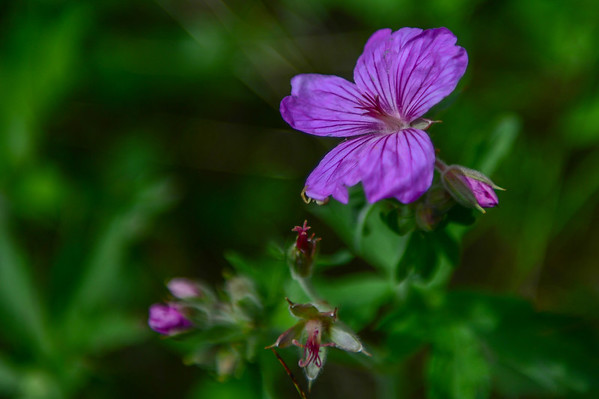 6 2013 Jun 10 Prairie Wild Flowers*