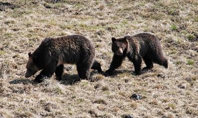 Yellowstone Wildlife Trip May 2013