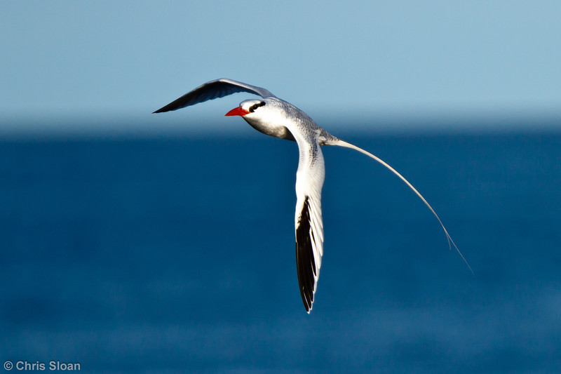 Red-billed Tropicbird at Champion Island, Galapagos, Ecuador (11-22-2011) - 112.jpg