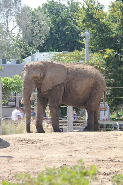20170807-014 - San Diego Zoo - Elephant.JPG