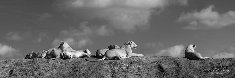 African Lion, b&w, Phinda, KZN, SA, Oct 2016-7.jpg