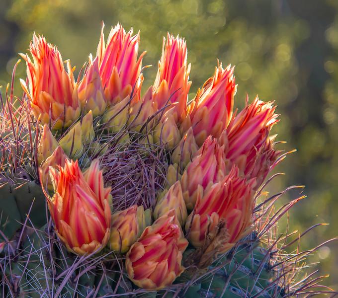Barrel Cactus 8-13-2017a.jpg