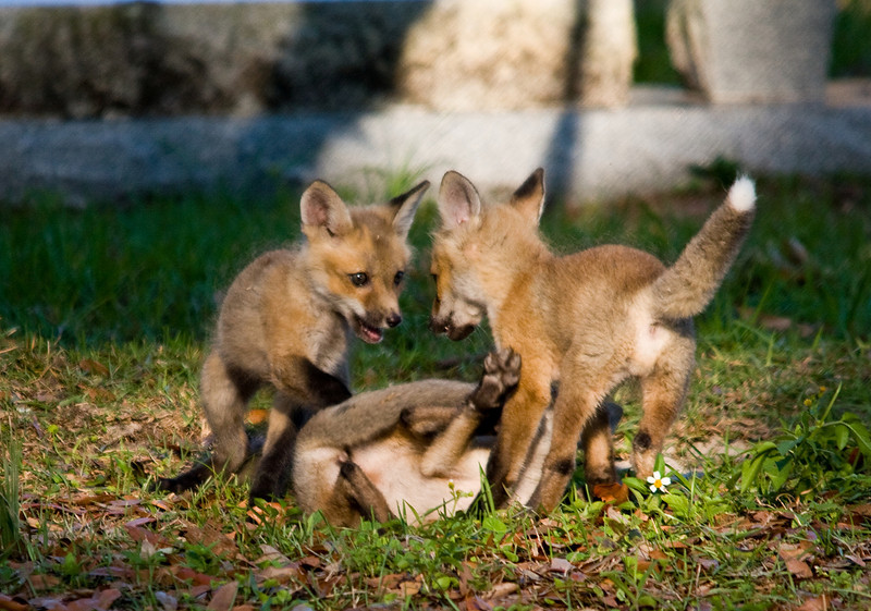 red fox kitts