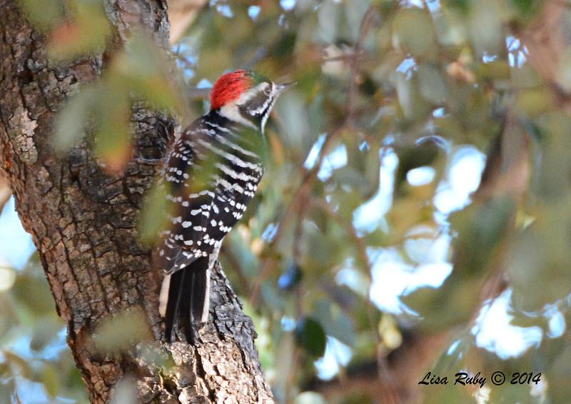 Nuttall's Woodpecker -  10/11/2014 - Pine Ridge Road, Pine Hills