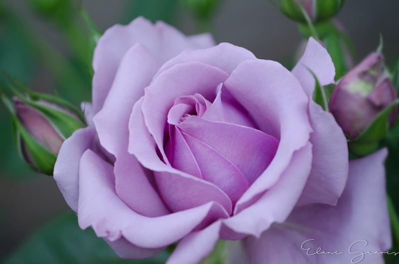 Purple Rose_2