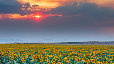 Colorado Sunflower Field Sunset Panorama