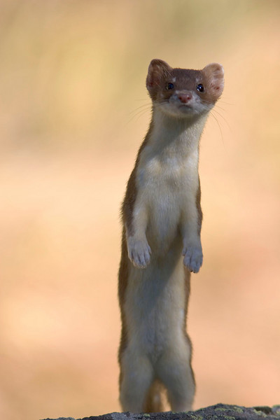weasel1.jpg