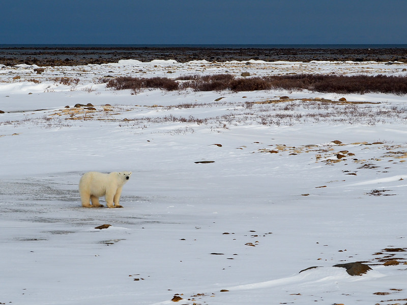 Polar bear on the tundra in Manitoba