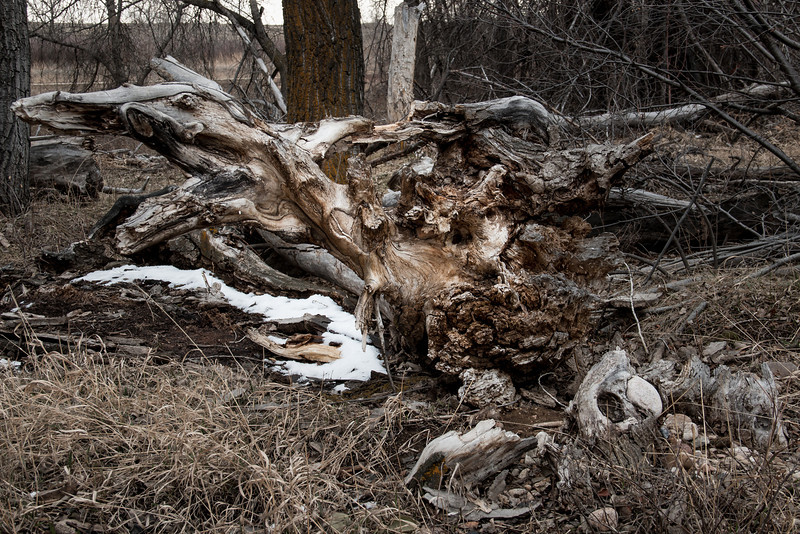 gnarled uprooted tree in the flood debris