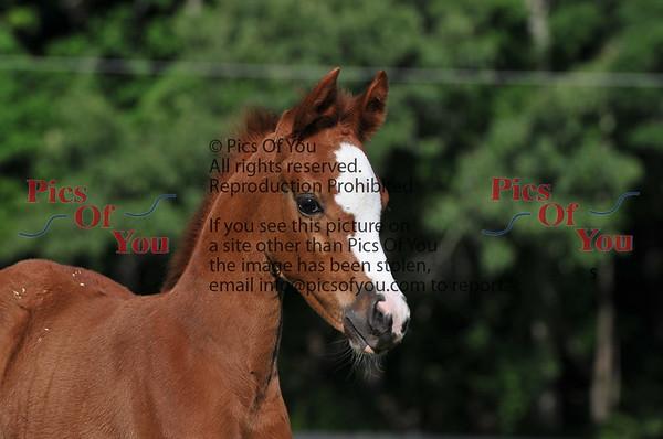 JM Arabians