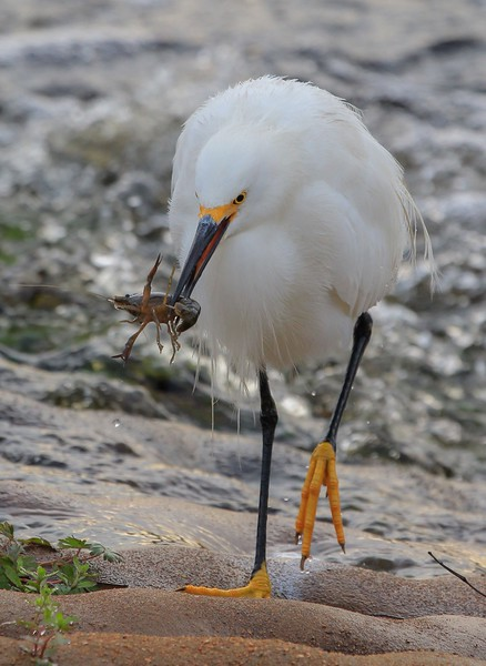 zzBrazos Bend, Zoo, 1-8-2016 317A Snowy Egret with crawfish.jpg
