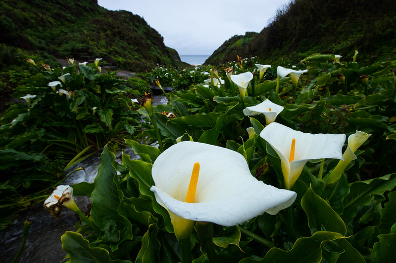 Big Sur Lilies-6191.jpg