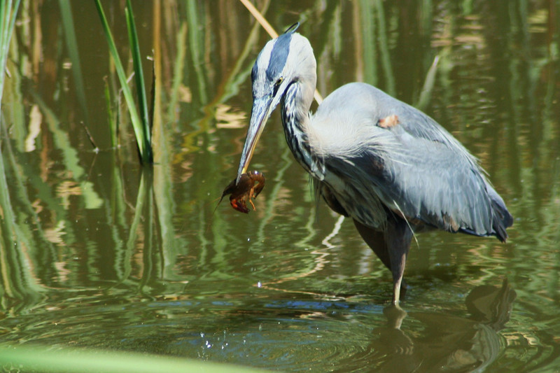 Great Blue Heron & Crab.JPG