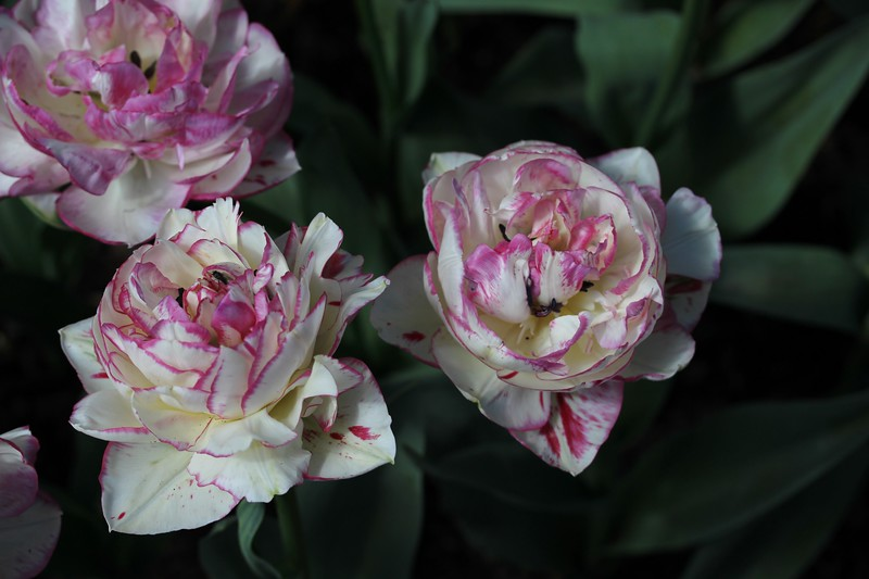 Floating Tulips.JPG