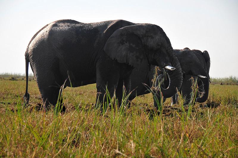 EPV0115 Elephants at Chobe River Eating Marsh Grass.jpg