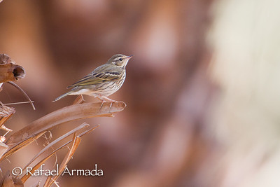 Olive-backed Pipit (Anthus hodgsoni). Eilat (Israel), 11.2011