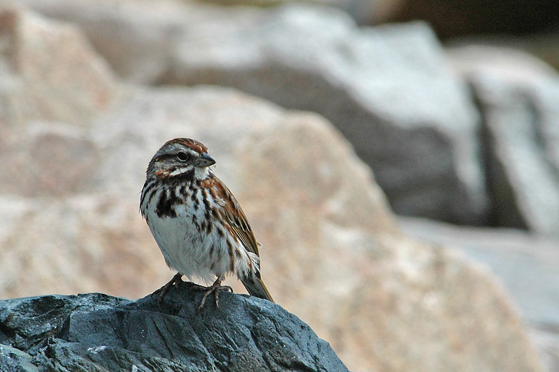 Sparrow - Song - Acadia National Park - ME