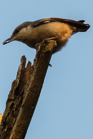 Brown-headed Nuthatches