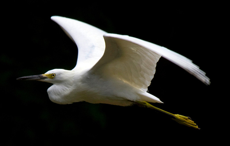 Snowy Egret flying over Brays Bayou, Houston