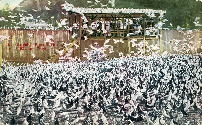 Los_Angeles_Pigeon_Farm_near_Elysian_Park_54_mailed_1911.jpg