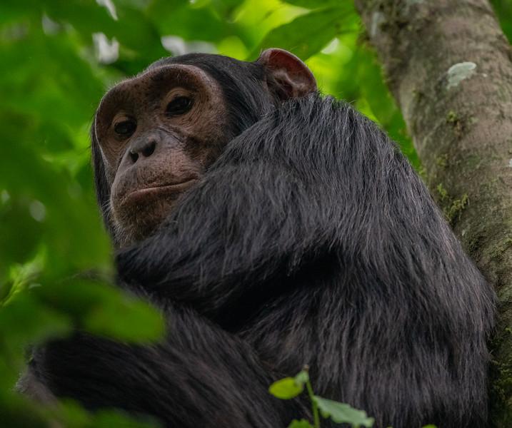 Uganda_T_Chimps-1686.jpg