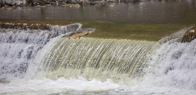 salmon upstream (6 of 48).jpg