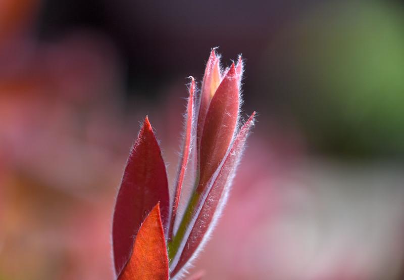 Bottlebrush-new-leaves-California.jpg