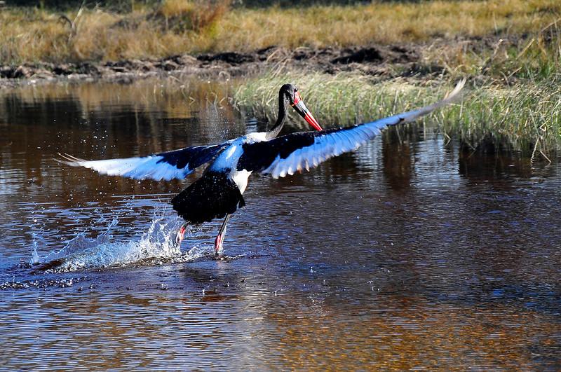 EPV0722 Saddle-billed Stork Takes Flight in Okavanga Delta, Botswana