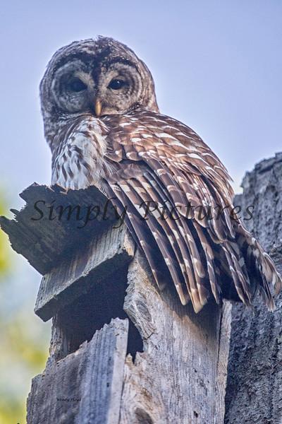 Owl  (46)